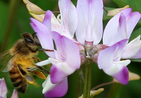 20090331れんげtoミツバチ_2