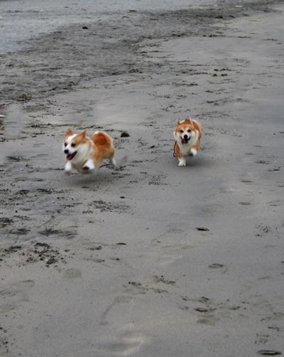 砂浜を駆け回るハニー&リッチ