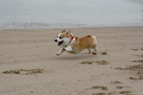 砂浜で走るリッチ