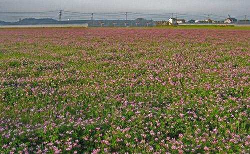 2010-0407レンゲ草