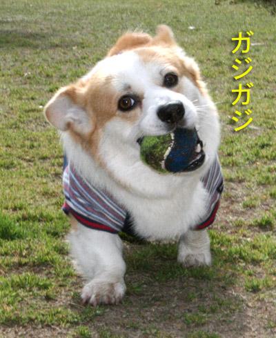 ボールをガジガジ