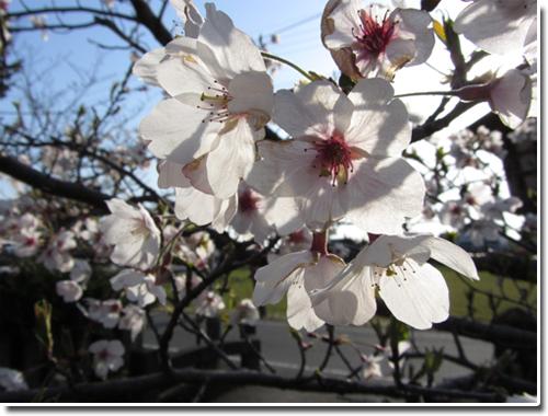 暴風雨の後の桜