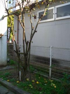 花梨の木2