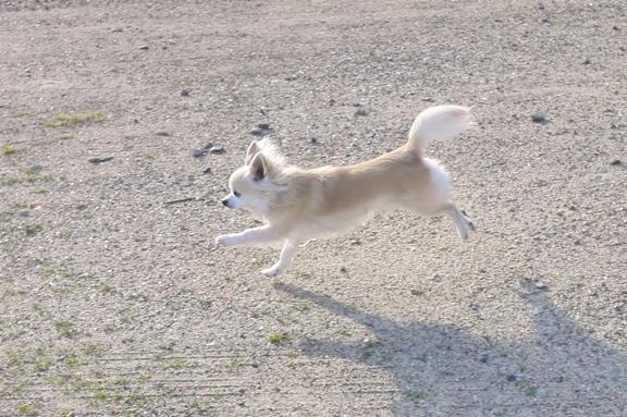 チワは呼ばなくても 空気を読んで走り始めます