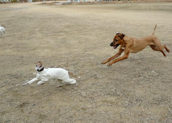 飛行犬シャロリー。