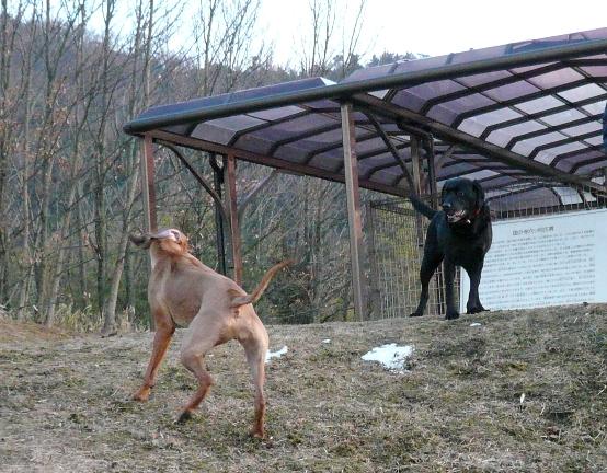 大型の2頭が走ると迫力があります