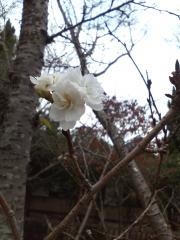咲いた寒桜