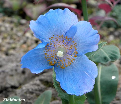 「ブルーポピー」ことメコノプシス・ベトニキフォリアの花