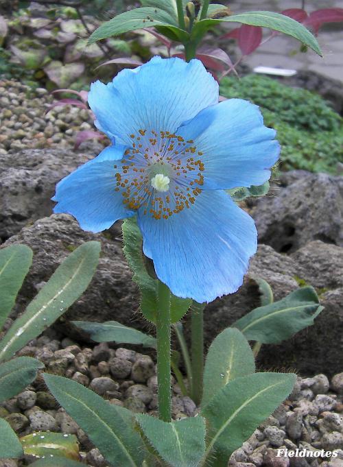 ブルーポピーと花と茎・葉