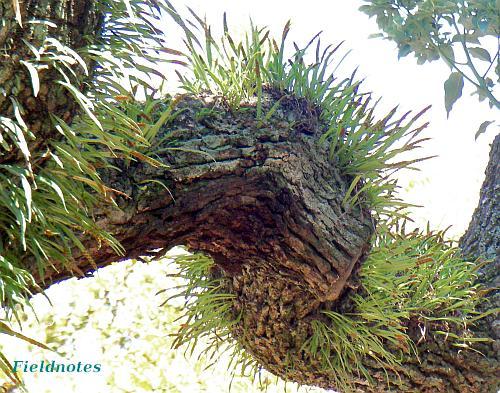 住吉大社のクスノキの古木から生えているノキシノブ