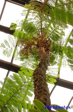 温室の天上まで届くほど大きい木生シダのマルハチ