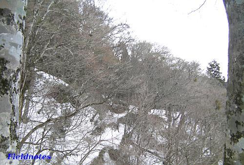 葛木神社裏参道のブナ林