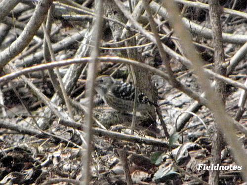 普通の鳥っぽく木にとまるキツツキのコゲラ