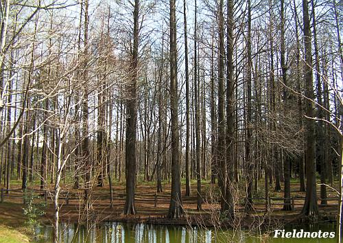初春のメタセコイアの森[長居植物園]
