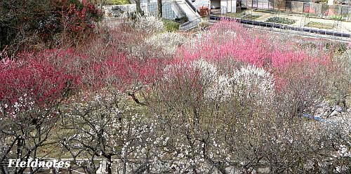 3月中旬の梅園の満開をすぎた梅[花の文化園]