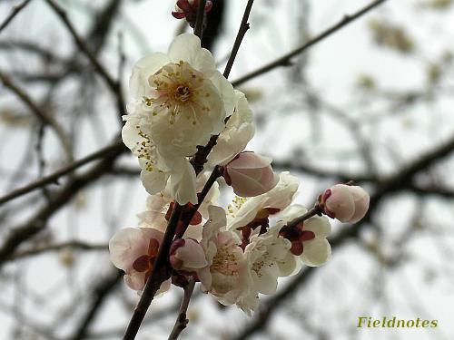 3月中旬の咲き始めの杏[京都府立植物園]