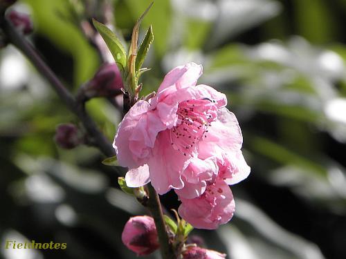 大仙公園日本庭園桃源台の桃の花