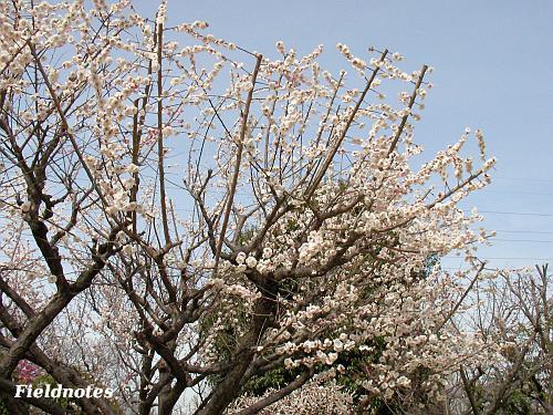ぎりぎり満開に間に合った大仙公園の梅