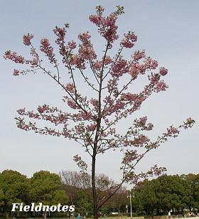 最近植樹されたらしくまだ小さい大仙公園のカワヅザクラ