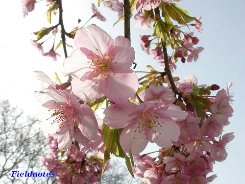 花と葉が一緒に出るのがカワヅザクラ[大仙公園]