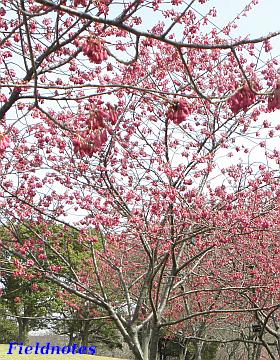 木が花で赤く染まっている大仙公園のカンヒザクラ
