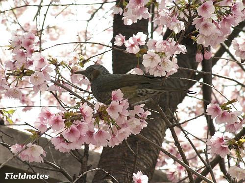 満開の百舌鳥駅桜とヒヨ