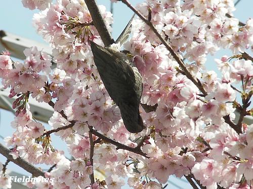 百舌鳥駅桜にぶらさがって花蜜を吸うヒヨ