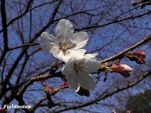 開花していた近所のソメイヨシノ