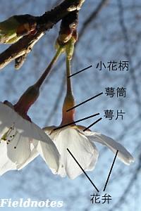 桜の花の部位