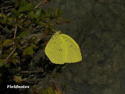 今年最初に出会ったキチョウですが羽化したのは去年?