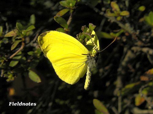 風でめくれた羽(表側)の先の黒い模様はかなり小さいキチョウ