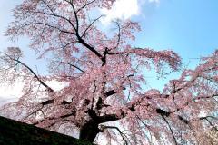 090324sakura001.jpg