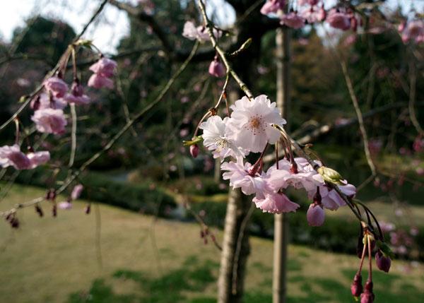 090403sakura001.jpg