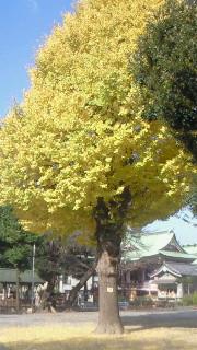 今戸神社 銀杏の木