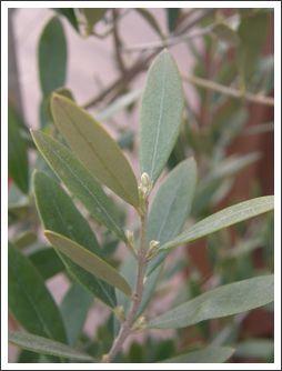 メインオリーブ葉のアップ0429