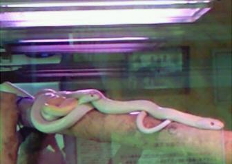 岩国の白蛇