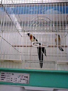ホウオウ雀