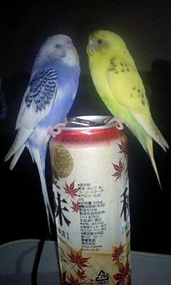 ビールインコⅡ
