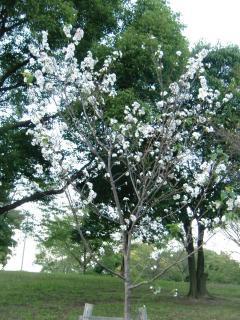 10月桜1