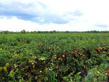 夏と言えばトマトおおおおお!広大な畑全部トマト-!