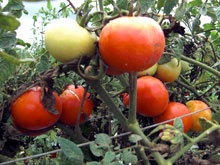 もう毎日刈り取っても無くならない、トマトは年中取れるらしい・・