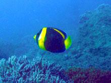 チョウチョウウオ系のオーストラリア固有種!紫と黄色なんて大胆w