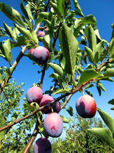 紫の果実再び!緑の奴はプルーンになります!!