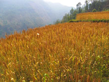 麦畑-、風に揺れて黄金に輝いてますなー。有り触れたコメントw