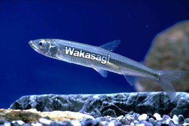 wakasagi