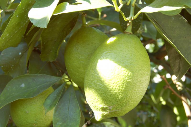 Lemon_convert_20110301185744.jpg
