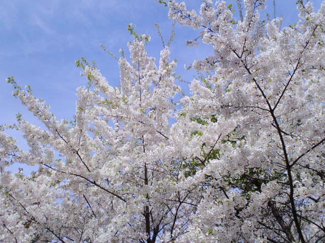 H22桜6