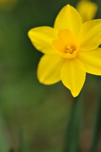 黄色いスイセン