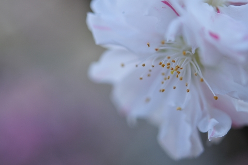 こちらは花桃