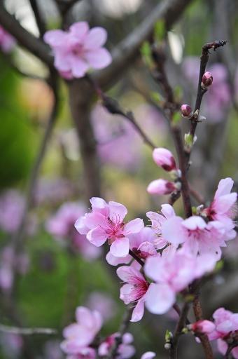 こちらも花桃